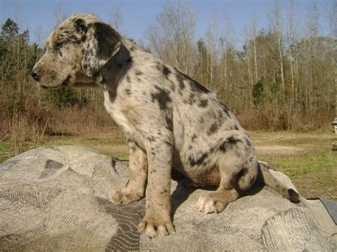 catahoula cur puppies catahoula cur on a picnic photo and wallpaper beautiful catahoula cur on a