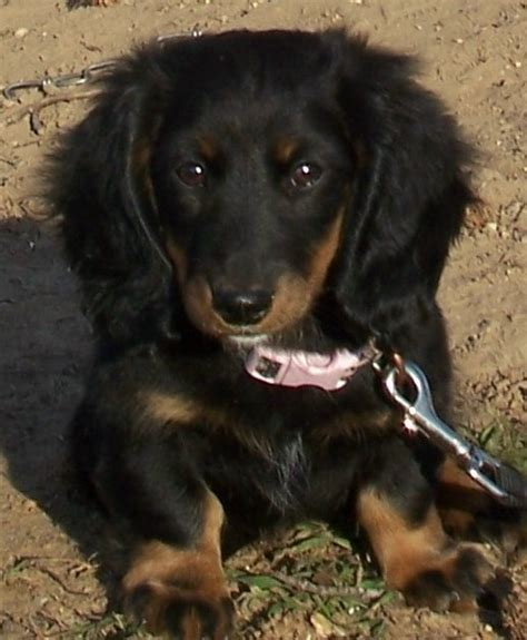 puppies oklahoma dachshund puppies for sale in oklahoma breeds picture