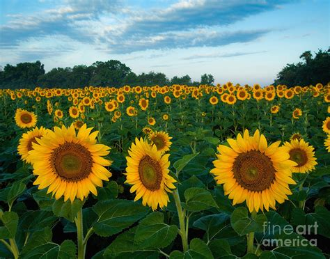 sunflower field sunflower field at sunrise photograph by jack nevitt
