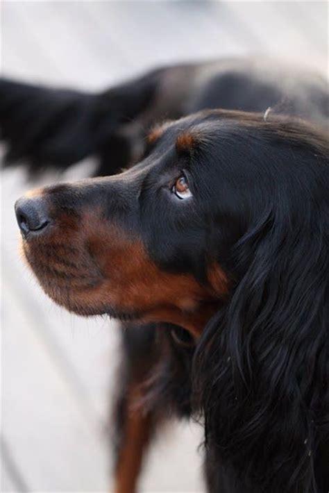 gordon setter gun dog 25 best gordon setter ideas on pinterest irish setter