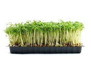Three Days Of Light Growing Garden Cress Is Child S Play