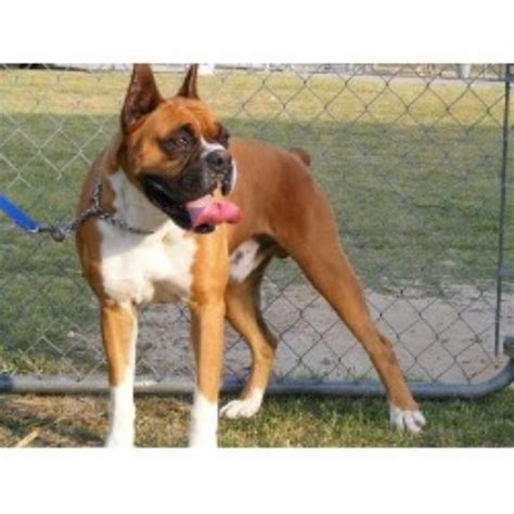 boxer puppies sc boxer breeders in south carolina freedoglistings