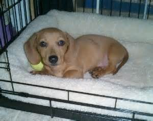 puppy cries all in crate crating puppy the right way 187 all pet news