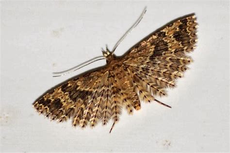moths in house meaning french wildlife and beekeeping twenty plume moth alucita hexadactyla