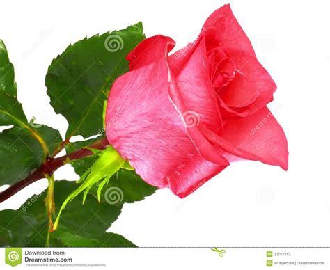 Imagenes De Rosas Solas | solas rosas rosadas hermosas fotos de archivo imagen