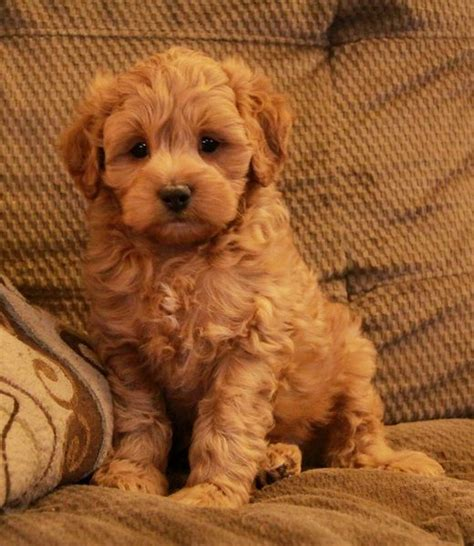 cockapoo puppies for sale in ky best 25 cockapoo puppies for sale ideas on cockapoo for sale cockapoo
