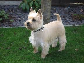 cairn hair cuts carin terrier haircut hairstylegalleries com