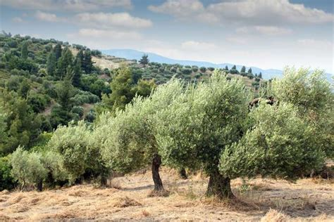 when do live trees go on sale the olive trees of puglia are ravaged by disease