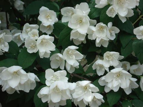 gardenia significato fiore filadelfo fiore d angelo gelsomino della madonna il