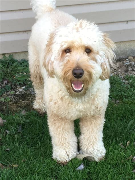 mini goldendoodle weight 17 best ideas about golden doodle mini on