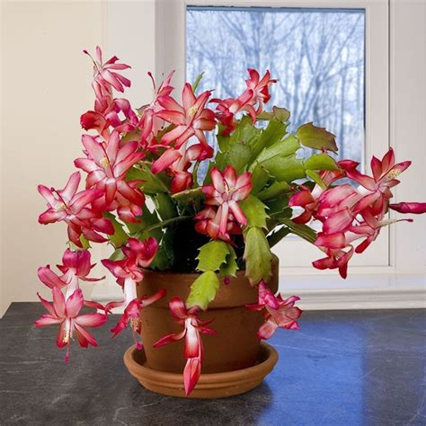 how much darkness do christmas cactus need cactus schlumbergera hybrid has purple buds that open to showy