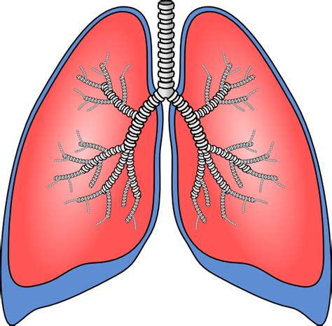 clipart lungs lungs clip art at clker vector clip art online