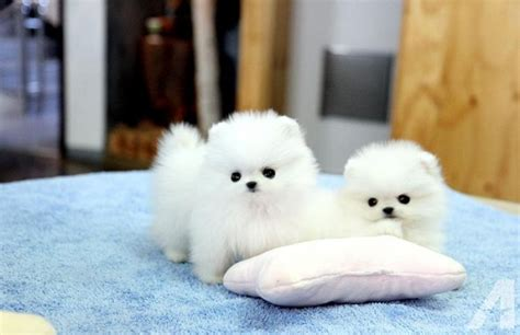pomeranian breeders va two teacup pomeranian puppies available for sale in martinsburg west virginia