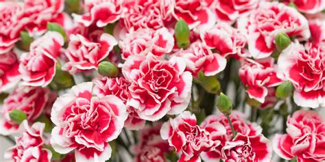 Facts About Carnations | carnation fun facts why carnations are the best