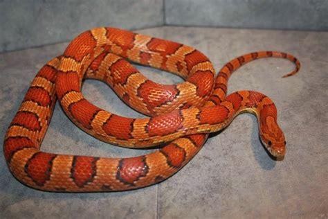 Lu Plasma Motif Ular jenis jenis colubrid snake genus colubridae jenis jenis macam macam ular colubrid