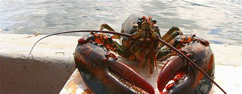 lobster boat happy hour lobster fishing and seal watching bar harbor whale watching