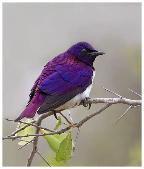 how come there s no truly purple bird general off topic