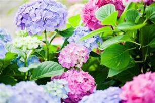 hydrangea change color change colour of hydrangea plant tutorial the whoot