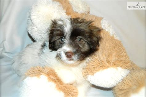 teacup havanese puppies for sale in illinois for sale at teacups morkie puppies for sale at teacups morkie puppies models