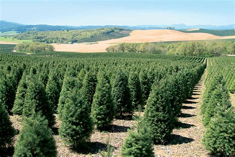 christmas tree farm in oregon oregon s nursery and tree industry grows farm flavor