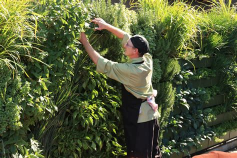 chef harvests herbs from wall garden for use in restaurant