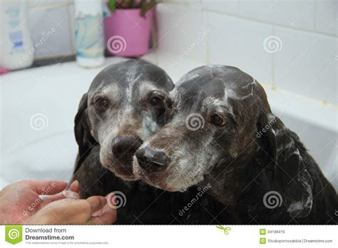 two dogs in a bathtub washing dogs royalty free stock images image 34198419