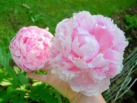 pink peonies and other flowers from long ago new england peonies flowers photos