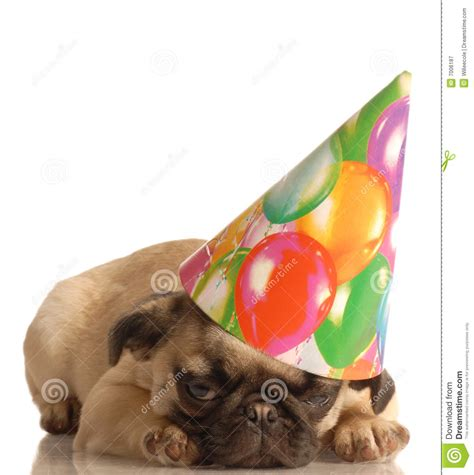 pug with birthday hat pug puppy with birthday hat royalty free stock photography image 7006187