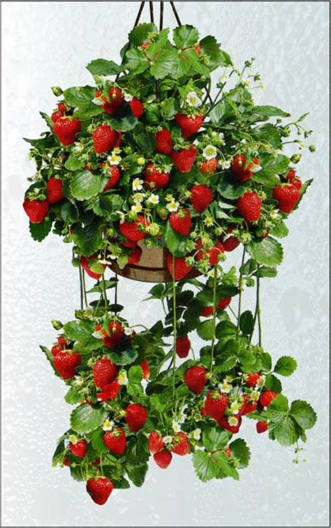 Strawberry Hanging Planter by Hanging Strawberries Strawberries