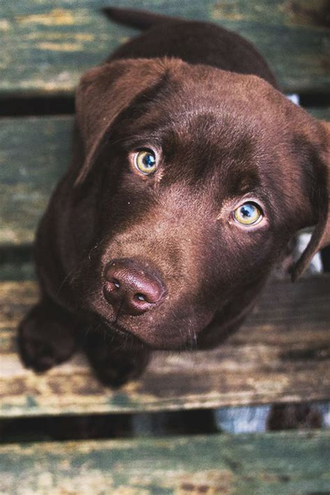 chocolate lab puppies ta 17 best ideas about labs on lab puppies