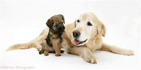 golden retriever terrier golden terrier puppies breeds picture