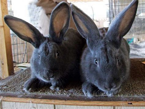 hd animals rabbit breeds
