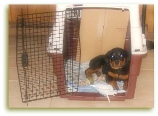 rottweiler crate caring for your rottweiler puppy are you prepared for your new bundle of