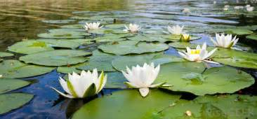 Water Lotus Plant What Are Water Lilies With Pictures