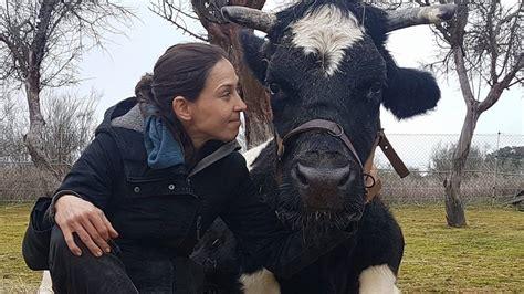 la espaa vaca m 225 s de 70 mil personas salvan del matadero a una vaca en espa 241 a