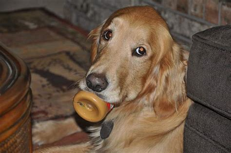 things to about golden retrievers 14 things that make golden retrievers happy