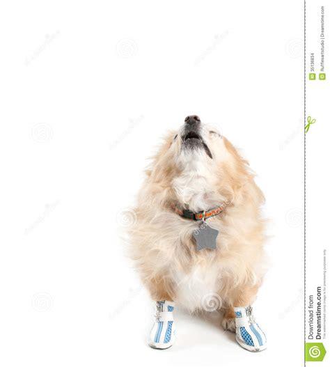 pomeranian barking barking pomeranian wearing shoes on white background stock photo image 35136834