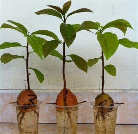 Bibit Pohon Mangga Alpukat cara menanam alpukat dari biji bibitbunga