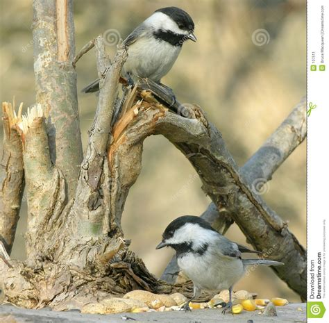two chickadees stock image image 107511