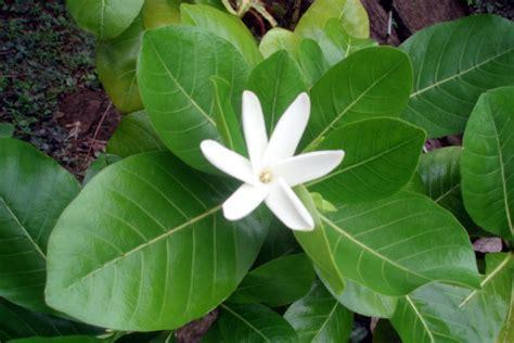 Gardenia Taitensis Gardenia Taitensis