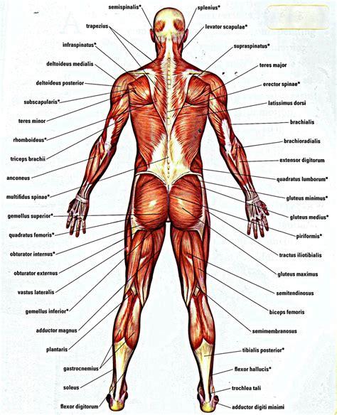 the anatomy of a lower back bones anatomy human body anatomy system