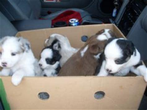 australian shepherd puppies for sale in wisconsin miniature australian shepherd puppies in wisconsin