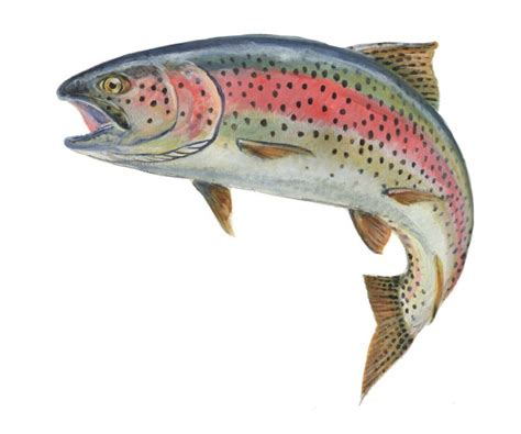 rainbow trout fish jumping
