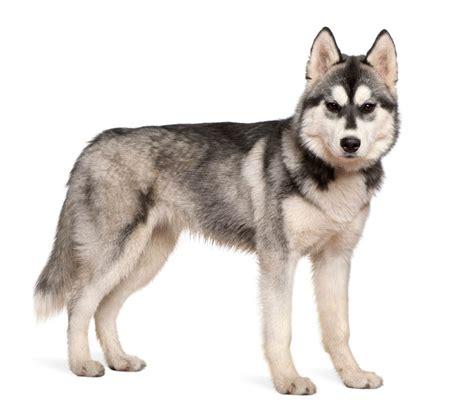imagenes sin fondo se llaman los perros que reviven en la nieve zen secci 243 n el mundo