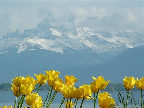 tulips montblanc lake geneva  photo  pixabay