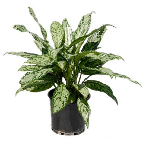 Aglaonema Silver aglaonema tropical exotics