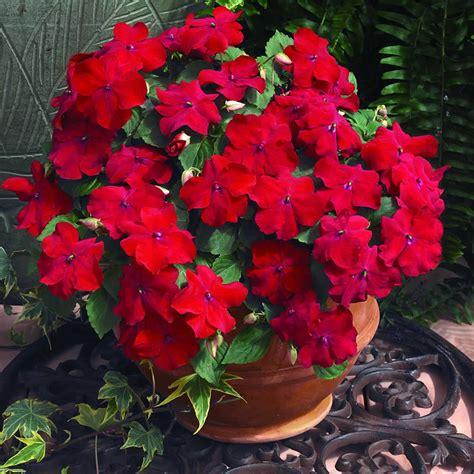 plants flowers impatiens walleriana