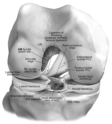 anterior cruciate ligament acl knee ligaments and other knee stabilizers bone and spine