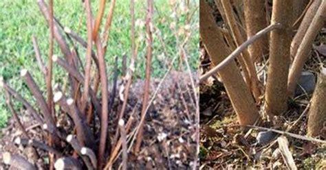 renovation pruning of flowering shrubs white swan homes and gardens pruning shrubs renovation