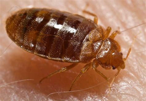 bed bugs on skin bed bug photos clipart images pics what do bed bugs look like